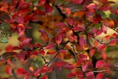 Цвета осени кустов Стоковое Фото