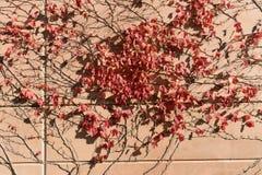 Цвета осени лоз стены Стоковые Изображения RF