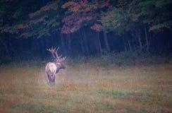 Цвета осени окружают большой мужской лося стоя в луге Стоковое фото RF