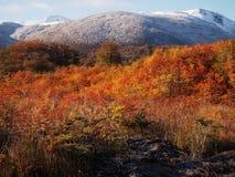 Цвета осени субполярных лесов бука острова Navarino, Чили - лесов world's самых южных Стоковое Изображение