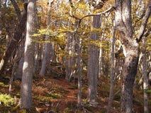 Цвета осени субполярных лесов бука острова Navarino, Чили - лесов world's самых южных Стоковое Изображение RF