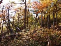 Цвета осени субполярных лесов бука острова Navarino, Чили - лесов world's самых южных Стоковая Фотография RF