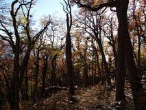 Цвета осени субполярных лесов бука острова Navarino, Чили - лесов world's самых южных Стоковая Фотография