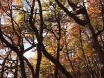 Цвета осени субполярных лесов бука острова Navarino, Чили - лесов world's самых южных Стоковое фото RF
