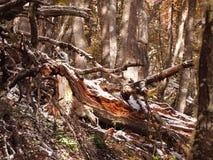 Цвета осени субполярных лесов бука острова Navarino, Чили - лесов world's самых южных Стоковые Изображения RF
