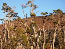 Цвета осени субполярных лесов бука острова Navarino, Чили - лесов world's самых южных Стоковое Фото