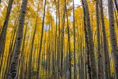 Цвета падения в Aspen, Колорадо стоковое фото rf