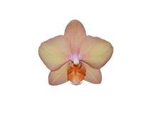 цвета Персик изолированная орхидея Стоковая Фотография
