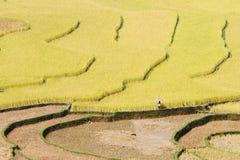 Цвета полей риса Стоковые Изображения