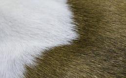 2 цвета предпосылки меха собаки Стоковое Фото