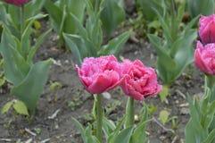 Цвета пурпура тюльпанов Стоковые Изображения RF