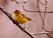 Цвета размножения певчей птицы ладони мужские стоковое фото rf