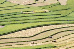 Цвета сбора на террасных полях Стоковое Изображение RF