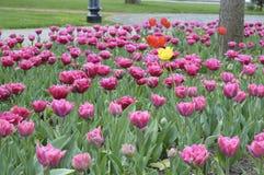 Цвета тюльпанов фиолетовые в парке Стоковое фото RF