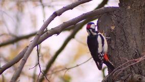 цвета Ярк портрет конца-вверх woodpecker на стволе дерева колотя дерево ища бичи на естественном сток-видео