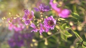 Цвета Lagerstroemia фиолетовые лета Стоковые Фотографии RF