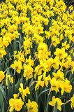 Цвета narcissus меняют от желтой к белизне Стоковые Фотографии RF