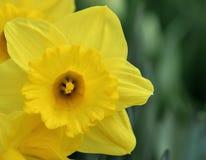 Цвета narcissus меняют от желтой к белизне Стоковое Фото