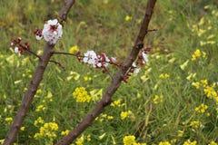 цветене абрикоса Стоковая Фотография RF