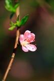 цветене абрикоса Стоковое Изображение RF