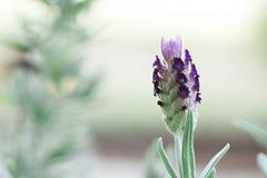 Цветене лаванды Стоковая Фотография RF