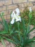 Цветене белого цветка Стоковые Фото