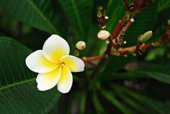 Цветене белого цветка Стоковая Фотография RF