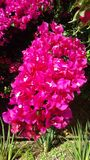 Цветене бугинвилии Стоковые Изображения