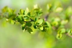 Цветене весны на бутонах ветвей дерева свежих зеленых голубое небо поле глубины отмелое Стоковая Фотография RF
