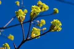 Цветене весны на бутонах ветвей дерева свежих зеленых голубое небо поле глубины отмелое Стоковые Фотографии RF