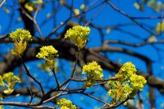 Цветене весны на бутонах ветвей дерева свежих зеленых голубое небо поле глубины отмелое Стоковое Изображение