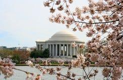 Цветене вишневых деревьев с мемориалом Jefferson Стоковая Фотография RF