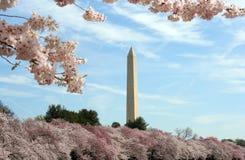 Цветене вишневых деревьев с памятником Вашингтона Стоковая Фотография