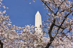 Цветене вишневых деревьев с памятником Вашингтона Стоковые Изображения RF