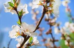 Цветене вишни стоковые фото