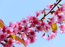 Цветене вишни Стоковая Фотография