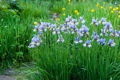 цветене в общем радужки сада лето сада Стоковые Фото