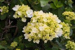 Цветене в природе, острова гортензии Азорских островов, Португалия стоковое изображение