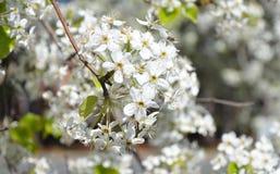 Цветене груши в макросе стоковая фотография rf
