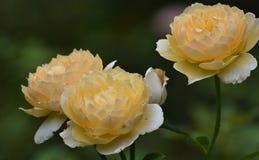 Цветене 3 довольно желтых роз полностью Стоковые Изображения RF
