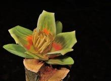 Цветене дерева тополя Стоковое Фото