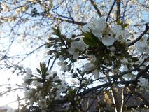 Цветене дерева Стоковое Изображение