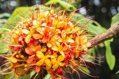 Цветене дерева Sorrowless Стоковое Изображение RF