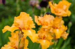 Цветене желтых радужек в саде лета Стоковое фото RF