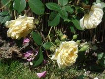 Цветене желтых роз полностью Стоковая Фотография
