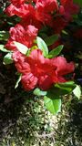 Цветене красной весны Стоковое Изображение RF