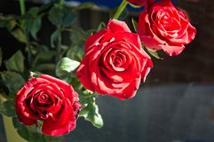 Цветене 3 красных роз полностью Стоковая Фотография