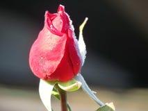 Цветене кровати красной розы первого заморозка последнее Стоковые Фото