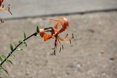 Цветене лилии тигра Стоковые Изображения RF