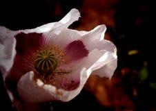 Цветене мака Стоковые Фотографии RF